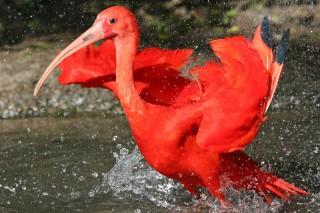 ibis-rouge-yt-821